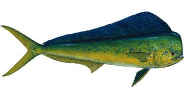 Florida keys fishing seasons calendar for Dolphin deep sea fishing