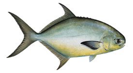 Florida Pompano Fishing Florida Keys