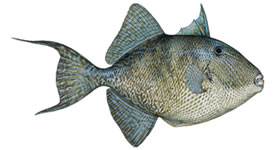 Gray Triggerfish Fishing Florida Keys