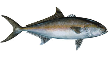 Greater Amberjack Fishing Florida Keys