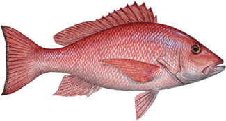 Red Snapper Fishing Florida Keys