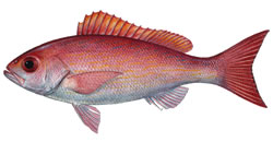 Fishing Florida Keys Vermillion Snapper